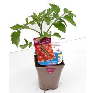TOMATE CERISE SUPERSWEET POT DE 0.5L