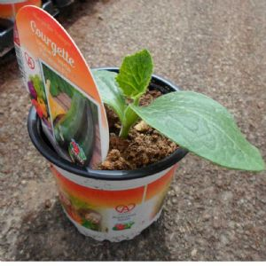 COURGETTE PARTHENON POT 10,5
